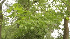 Большой клен в парке, зеленый большой клен, кленовые листы пошатывает в ветре акции видеоматериалы