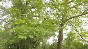 Большой клен в парке, зеленый большой клен, кленовые листы пошатывает в ветре видеоматериал