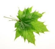 большой клен листьев малый Стоковое Изображение
