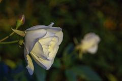 Большой конец бутона белой розы вверх на запачканной предпосылке Стоковая Фотография