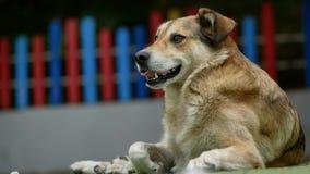 Большой конец-вверх головы собаки на спортивной площадке сток-видео