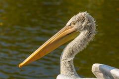 Большой конец портрета белого пеликана вверх, onocrotalus Pelecanus Стоковые Изображения