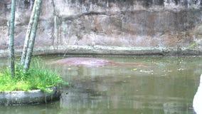 Большой коричневый гиппопотам прячет в воде и заплывы в пруде на зоопарке, ждать дают еду от людей видеоматериал