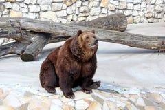 Большой коричневый медведь стоковое фото rf