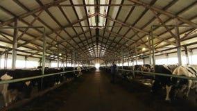Большой коровник с линиями коров и работник на ферме видеоматериал