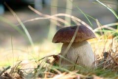 Большой королевский гриб подосиновика в древесине Стоковая Фотография RF