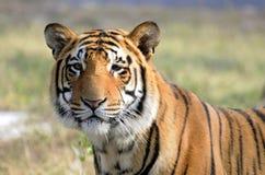 большой кот Стоковая Фотография