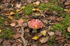 Большой красный пластинчатый гриб мухы на соре лист стоковые изображения rf