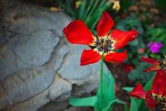 Большой красный цветок от ботанического сада Шанхая Стоковые Фотографии RF