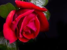большой красный цвет поднял Стоковые Изображения RF