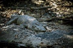 Большой крокодил отдыхая на утесах стоковое изображение rf