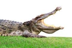 Большой крокодил на зеленом цвете Стоковое Изображение