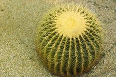 Большой круглый конец-вверх кактуса Взгляд сверху стоковые фото