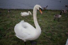 Большой лебедь стоя правый перед мной Стоковые Изображения RF