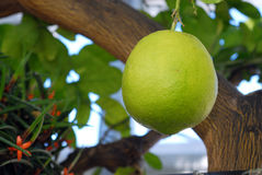 большой лимон Стоковые Изображения RF