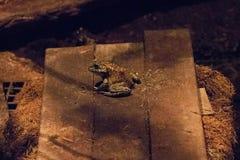 Большой лягушка-бык на доске Стоковое фото RF