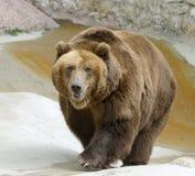 большой медведя коричневый Стоковое Изображение RF