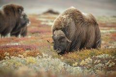 Большой мужской вол мускуса, Норвегия стоковое фото rf