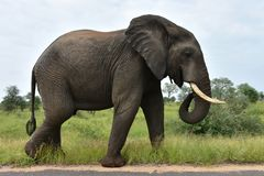 Большой мужской слон в африканском ландшафте стоковые изображения rf