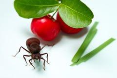Большой муравей Tanajura 2 Стоковое фото RF