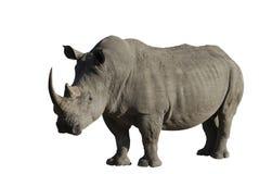 большой мыжской rhinoceros Стоковое Изображение RF