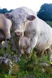 Большой мышечный бык с кольцом носа выглядя сердитый стоковое изображение