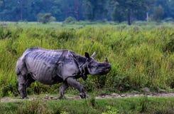 Большой один Horned носорог Стоковые Изображения RF