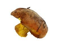 Большой одичалый гриб Стоковое Фото