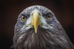Большой орел в темноте смотря прямо на мне стоковая фотография rf