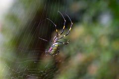 Большой паук сада на ем сеть в Японии стоковые фотографии rf