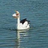 большой пеликан рта Стоковое Изображение