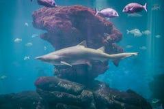 Большой плавать акулы стоковые изображения rf