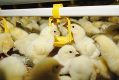 большой поднимать цыплятины фермы Стоковая Фотография RF