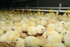 большой поднимать цыплятины фермы Стоковые Изображения RF