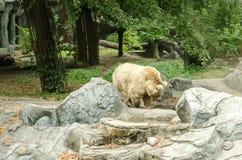 Большой полярный медведь идя на зоопарк в Киеве стоковые изображения