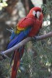 Большой попугай ары шарлаха сидя на ветви дерева Стоковая Фотография RF