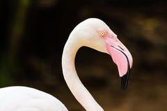 Большой портрет головки птицы фламингоа только Стоковые Фото