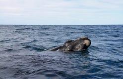 Большой правый кит смотрит из океана. Одичалая природа. Стоковое Изображение