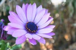 Большой пурпурный цветок Osteospermum известное как африканская маргаритка стоковое фото