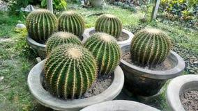 Большой размер завода кактуса круга стоковые фотографии rf