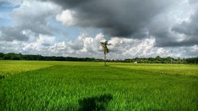 Большой размер предпосылки поля риса стоковое изображение