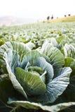 большой салат Стоковое Изображение RF