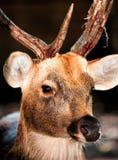 Большой самец оленя whitetail Стоковая Фотография
