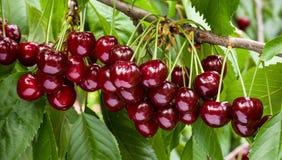 Большой сбор зрелых красных вишен на ветви дерева Стоковая Фотография RF