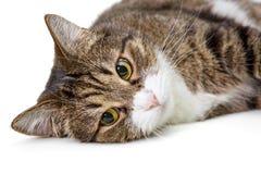 Большой серый кот стоковые фото