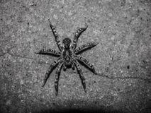 Большой серый паук сидя на поле Стоковая Фотография