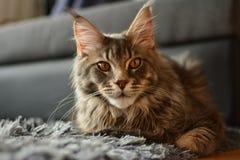 Большой сер-белый енот Мейна кота Стоковое Изображение