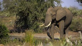 Большой слон быка drowsing на waterhole сток-видео