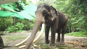 Большой слон с видео отснятого видеоматериала запаса бивней видеоматериал