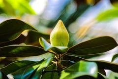 Большой сметанообразный бутон цветка магнолии в конце ветви с элегантно окружать, огромных лоснистых, темных ых-зелен листьев стоковое фото